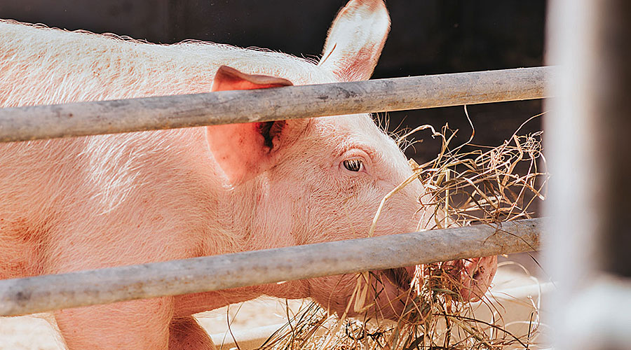 Ein Schwein frisst Stroh.