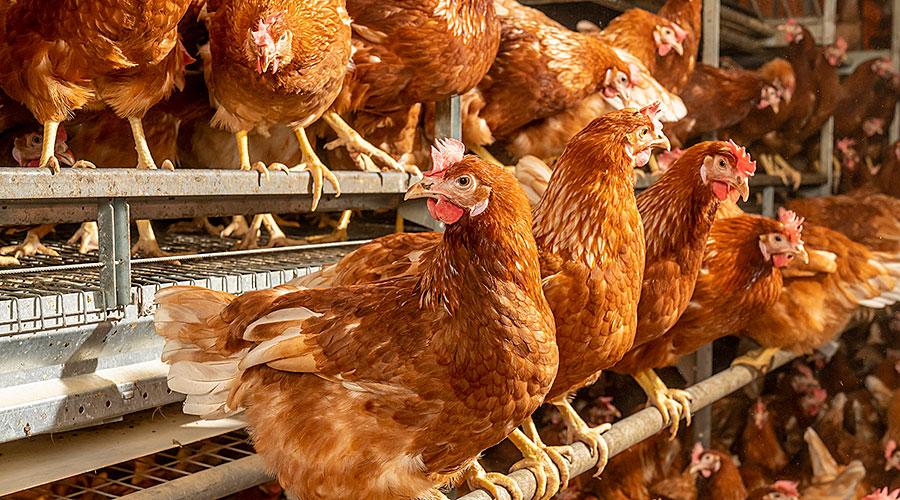 Hennen am Futtertrog