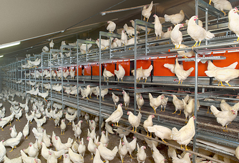 В Казахстане поголовье птицы увеличилось на 3,1% до 35,6 млн. голов